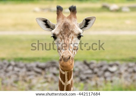 Outdoor portrait of the face of a captive giraffe