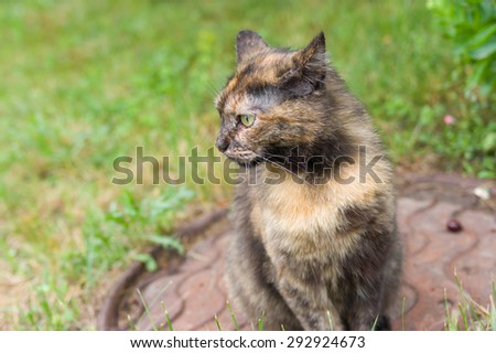 Outdoor portrait of three colored cat looking prey