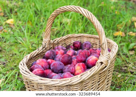 Outdoor shot of basket with fresh plums - stock photo