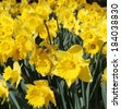Outdoor shot of yellow daffodils in a flowerbed  - stock photo