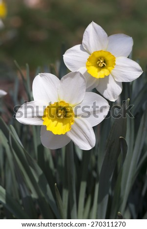 Outdoor two white daffodils with yellow center petal and green leaves - stock photo