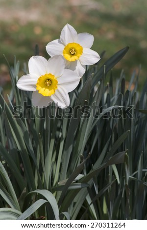 Outdoor two white daffodils with yellow center petal and green leaves on brown bokeh background - stock photo