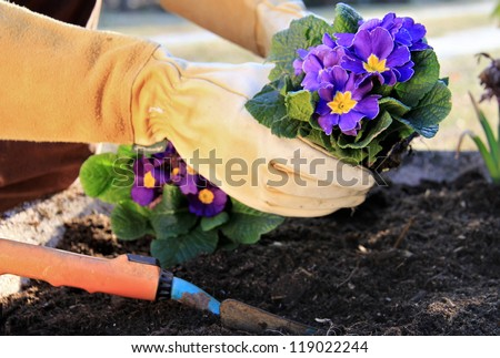 Outdoor work , plant a primrose in a garden pot - stock photo