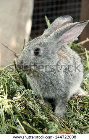 Outdoors grey rabbit sitting in the grass as a symbol of Easter