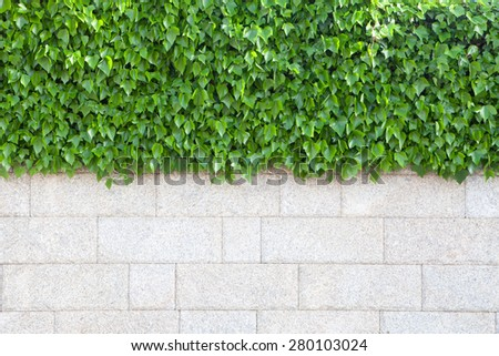 Outer wall of house covered with beautiful green leaves plants - stock photo