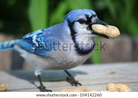 outside blue jay eating a large peanut - stock photo