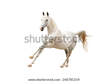 outstanding white stallion isolated on white background - stock photo