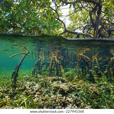 Over and under water surface in the mangrove with coral and juvenile fish in the roots - stock photo