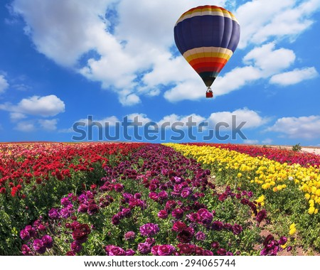 Over the field in sky flying big balloon. Elegant multi-color rural fields with flowers - ranunculus -  red and yellow - stock photo