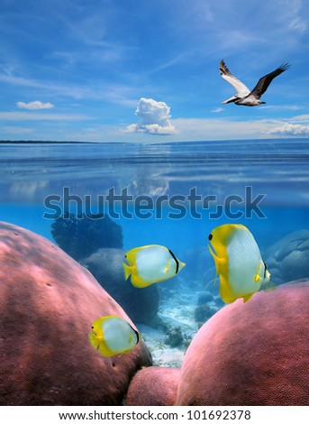 Over-under split view in tropical sea with a pelican flying above water, and below surface butterfly fish in a coral reef - stock photo