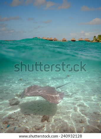Over-under water shot of a stingray in the shallow, clear water of the lagoon of Bora Bora, an island in the Tahiti archipelago French Polynesia with an overwater bungalow resort in the background.  - stock photo