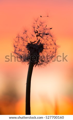 Overblown dandelion with seeds in sunset