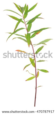 Overblown fireweed, Chamerion angustifolium isolated on white background