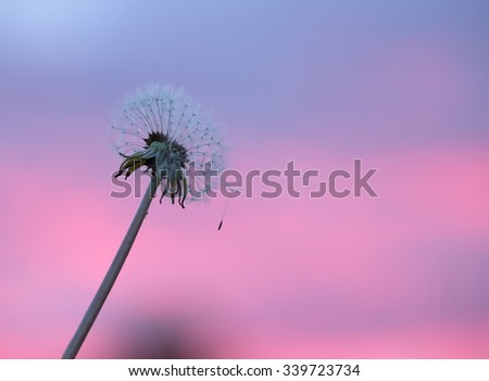 Overblown single dandelion with seeds in sunset colors  - stock photo