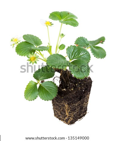 Overblown strawberry bush closed knight system taken out of the pot - stock photo