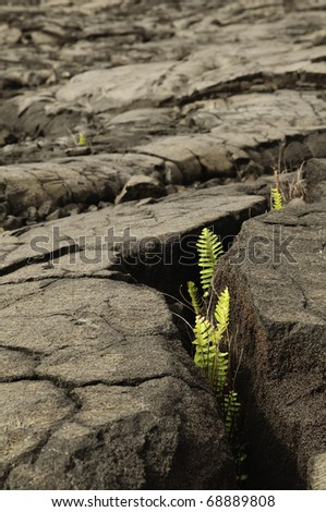 Overcoming adversity: Life emerges in field of pahoehoe lava, Hawaii Volcanoes National Park - stock photo