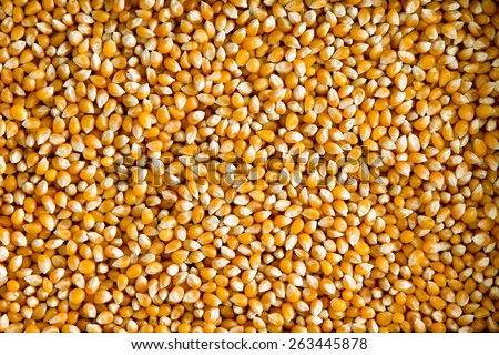 Overhead background view of a layer of healthy dried corn or maize kernels, a staple grain rich in dietary fiber and starch - stock photo
