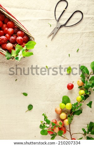 Overhead view of a basket filled with fresh small yellow plums alongside a sharp pair of small scissors and a branch with attached fresh fruit during the cutting of cranberries free of the plant - stock photo