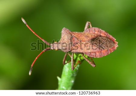 Overview of a brown squash bug. Coreus marginatus