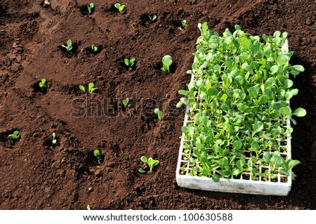 Overview of flat of seedlings beside newly planted crop - stock photo