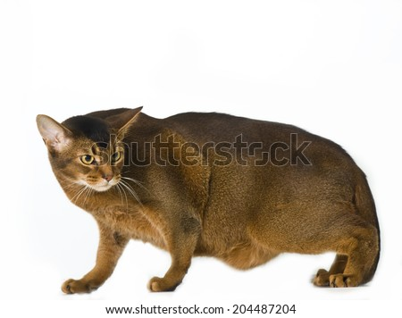 Overweight Abyssinian cat - stock photo