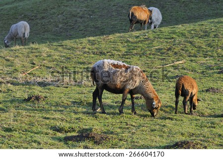 Ovis ammon aires, Kamerun Sheep - stock photo