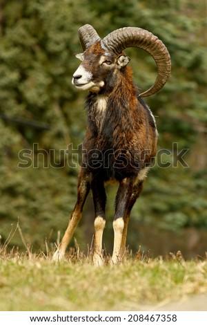 Ovis musimon - stock photo