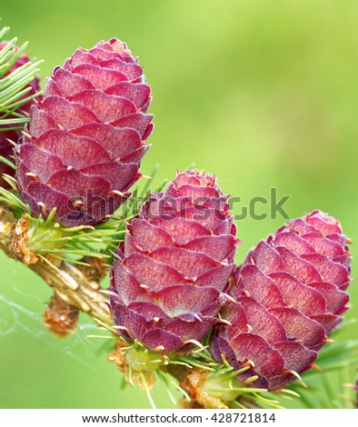 Ovulate cones and pollen cones of larch tree in spring, end of May. - stock photo