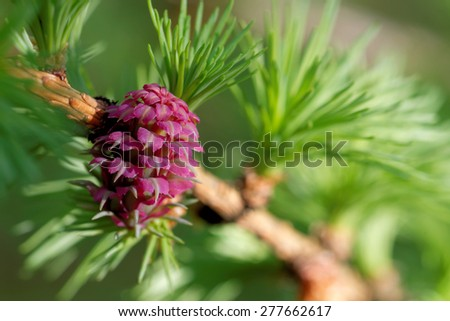 Ovulate cones (strobiles) of larch tree, spring, beginning of May
