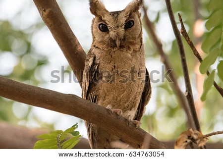 Owl (A nocturnal bird of prey with large forward-facing eyes surrounded by facial disks, a hooked beak, and typically a loud call)