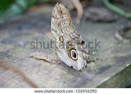 Owl butterfly Caligo ready to eat - stock photo