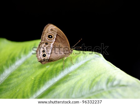 Owl Butterfly resting on green leaf - stock photo