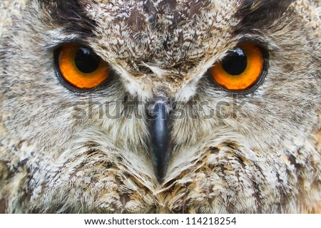 owl eagle very close up, detail face - stock photo