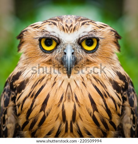 Owl face close up - stock photo