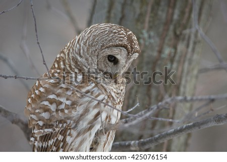 Owl Hunting in Winter - Barred owl in the forest in winter, looking and listening for prey. - stock photo