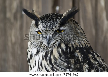 owl in alert - stock photo
