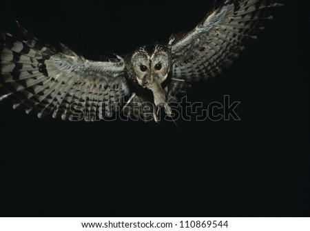 Owl in flight with a prey in its beak - stock photo
