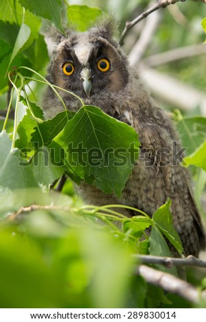 Owl in green leaves