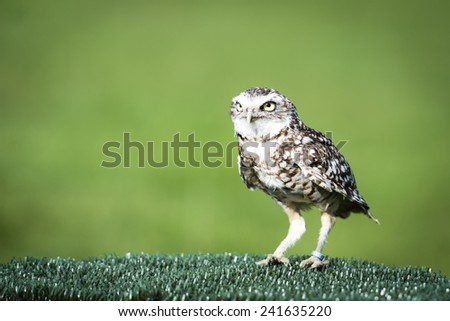 Owl looking for its prey - stock photo
