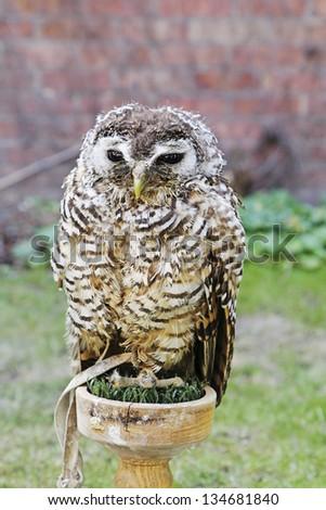 Owl on post - stock photo