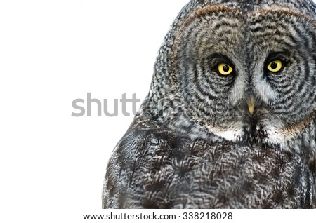 Owl on White Background