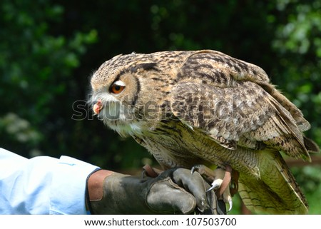 Owl perched on trainers hand