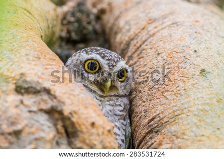 Owl (Spotted owlet) in nature - stock photo