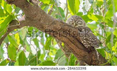 Owl (Spotted owlet) in nature on tree