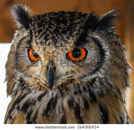 Owl with Powerful Red Orange Eyes! - stock photo