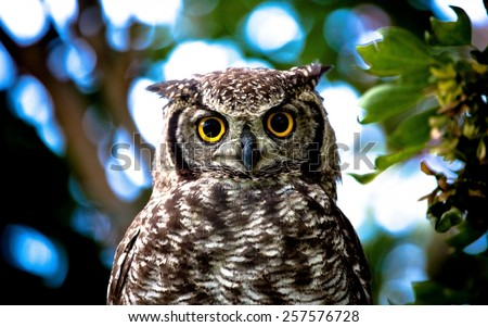 owl, yellow, eyes. - stock photo