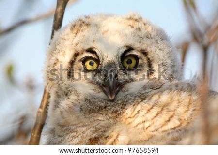 Owlet in nest in Saskatchewan - stock photo