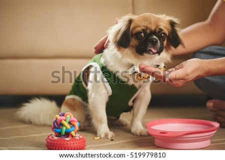 Owner feeding his adorable little dog