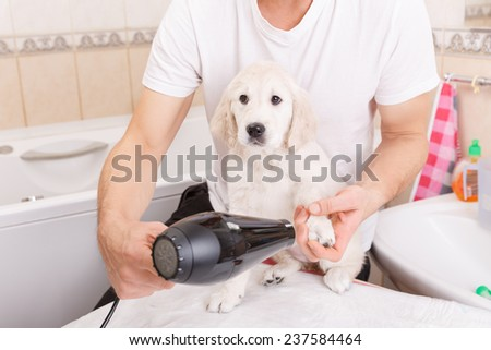 Owner is grooming the fur of retriever puppy after shower  - stock photo