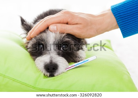owner  petting his  sick dog with thermometer in mouth suffering pain and fever - stock photo